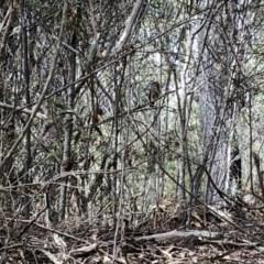 Ninox novaeseelandiae (Southern Boobook) at Deua National Park - 6 Oct 2019 by Jubeyjubes