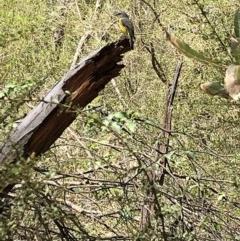 Eopsaltria australis (Eastern Yellow Robin) at Deua National Park - 6 Oct 2019 by Jubeyjubes