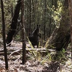 Wallabia bicolor (Swamp Wallaby) at Deua National Park - 6 Oct 2019 by Jubeyjubes
