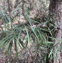 Lomatia myricoides (Long-leaf Lomatia) at Deua National Park - 6 Oct 2019 by Jubeyjubes