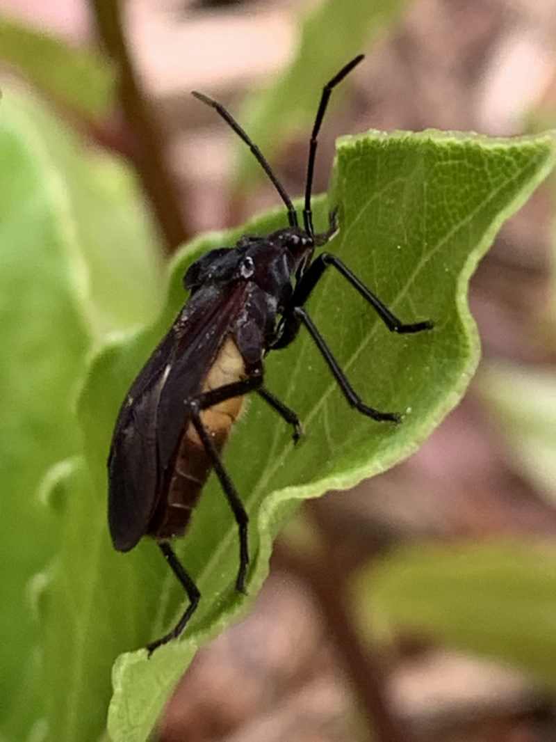 Oncopeltus sordidus at Berry, NSW - 7 Oct 2019