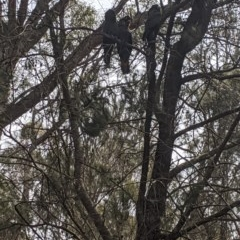Calyptorhynchus lathami (Glossy Black-Cockatoo) at Lower Boro, NSW - 6 Oct 2019 by MissFrench