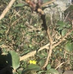 Berberis aquifolium (Oregon grape) at Mount Majura - 7 Oct 2019 by WalterEgo