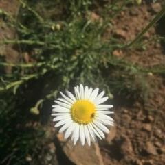 Brachyscome diversifolia var. diversifolia (Large-headed Daisy) at Mount Majura - 7 Oct 2019 by WalterEgo