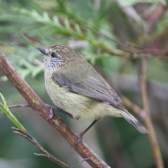 Acanthiza lineata (Striated Thornbill) at Broulee, NSW - 6 Oct 2019 by LisaH