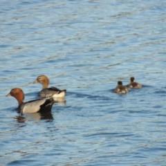 Chenonetta jubata (Australian Wood Duck) at Isabella Pond - 2 Oct 2019 by michaelb