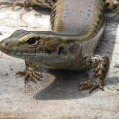 Eulamprus quoyii (Eastern Water-skink) at Shoalhaven Heads Bushcare - 5 Oct 2019 by Christine