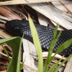Pseudechis porphyriacus (Red-bellied Black Snake) at Shoalhaven Heads Bushcare - 5 Oct 2019 by Christine