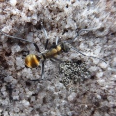 Polyrhachis ammon (Golden-spined Ant, Golden Ant) at Bomaderry Creek Regional Park - 6 Oct 2019 by Christine