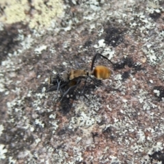 Polyrhachis ammon at Bomaderry Creek Regional Park - 6 Oct 2019