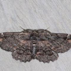 Pholodes sinistraria (Pholodes sinistraria) at Rosedale, NSW - 6 Oct 2019 by jbromilow50