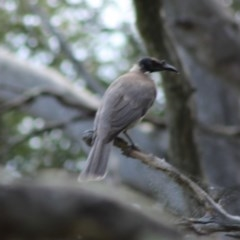 Philemon corniculatus (Noisy Friarbird) at Red Hill Nature Reserve - 6 Oct 2019 by kieranh