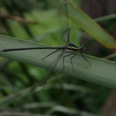 Austroargiolestes icteromelas (Common Flatwing) at Berry, NSW - 5 Oct 2019 by Jeannie