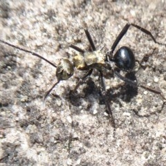 Polyrhachis semiaurata (Spiny ant) at Bomaderry Creek Regional Park - 6 Oct 2019 by Christine