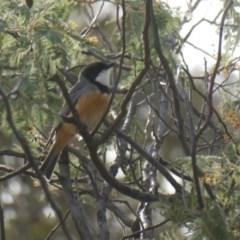 Pachycephala rufiventris (Rufous Whistler) at Wambrook, NSW - 5 Oct 2019 by GeoffRobertson
