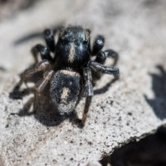 Salpesia sp. (genus) (Salpesia Jumping Spider) at ANBG - 30 Sep 2019 by AlisonMilton