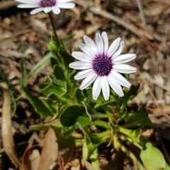 Dimorphotheca ecklonis (African Daisy) at Mount Ainslie - 7 Oct 2019 by ClubFED