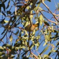 Pardalotus punctatus (Spotted Pardalote) at Wamboin, NSW - 9 Sep 2019 by natureguy