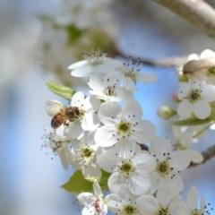 Apis mellifera (European honey bee) at Wamboin, NSW - 13 Sep 2019 by natureguy
