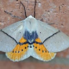 Gastrophora henricaria (Fallen-bark Looper, Beautiful Leaf Moth) at Wamboin, NSW - 14 Sep 2019 by natureguy