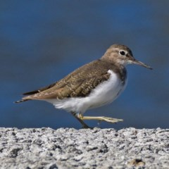 Actitis hypoleucos (Common Sandpiper) at Isabella Pond - 8 Oct 2019 by Marthijn