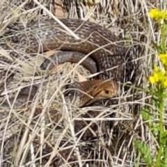 Pseudonaja textilis (Eastern Brown Snake) at Umbagong District Park - 7 Oct 2019 by tpreston