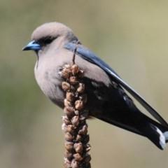 Artamus cyanopterus (Dusky Woodswallow) at Urambi Hills - 8 Oct 2019 by Harrisi