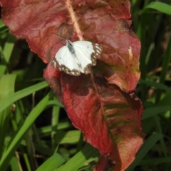 Belenois java (TBC) at Berry, NSW - 8 Oct 2019 by Andrejs