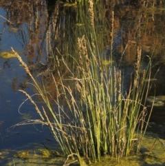 Carex appressa (Tall Sedge) at Isabella Pond - 2 Oct 2019 by michaelb