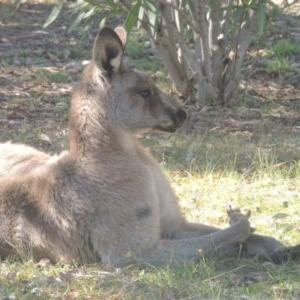 Macropus giganteus (Eastern Grey Kangaroo) at Kin Kin, QLD by michaelb