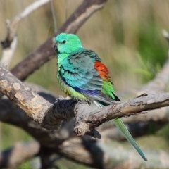 Psephotus haematonotus (Red-rumped Parrot) at Jerrabomberra Wetlands - 7 Oct 2019 by Tim L