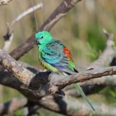Psephotus haematonotus at Jerrabomberra Wetlands - 8 Oct 2019