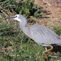 Egretta novaehollandiae (White-faced Heron) at Jerrabomberra Wetlands - 7 Oct 2019 by Tim L