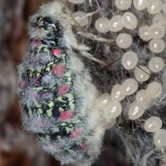 Anestia (genus) at Kambah, ACT - 11 Oct 2019