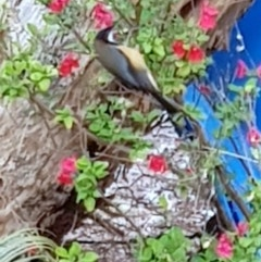 Acanthorhynchus tenuirostris (Eastern Spinebill) at Black Flat at Corrowong - 10 Oct 2019 by BlackFlat