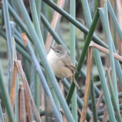 Acrocephalus australis (Australian Reed-Warbler) at Berry, NSW - 10 Oct 2019 by Andrejs