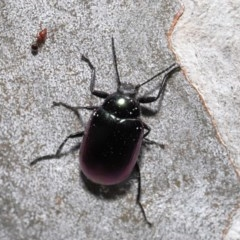 Chalcopteroides columbinus (Rainbow darkling beetle) at ANBG - 24 Sep 2019 by TimL