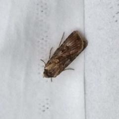 Agrotis munda (Brown Cutworm) at Kambah, ACT - 10 Oct 2019 by GirtsO
