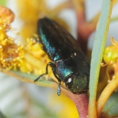 Melobasis thoracica (A jewel beetle) at Black Mountain - 10 Oct 2019 by Harrisi