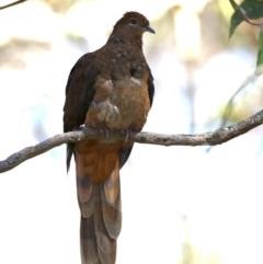 Macropygia (Macropygia) amboinensis (Brown Cuckoo-dove) at Rosedale, NSW - 10 Oct 2019 by jbromilow50