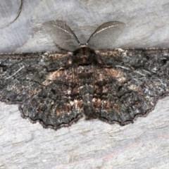 Pholodes sinistraria (Pholodes sinistraria) at Rosedale, NSW - 10 Oct 2019 by jbromilow50