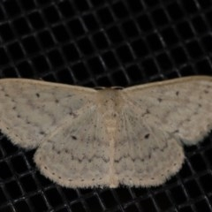 Scopula optivata (Varied Wave) at Rosedale, NSW - 10 Oct 2019 by jbromilow50