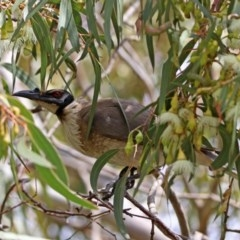 Philemon corniculatus (Noisy Friarbird) at Jerrabomberra Wetlands - 11 Oct 2019 by RodDeb