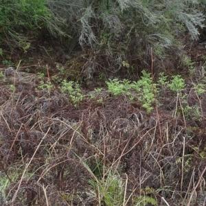 Hypolepis glandulifera at Brogo, NSW - 12 Oct 2019