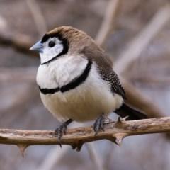 Taeniopygia bichenovii (Double-barred Finch) at Tuggeranong DC, ACT - 12 Oct 2019 by Marthijn
