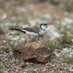 Taeniopygia bichenovii (Double-barred Finch) at Nicholls, ACT - 12 Oct 2019 by dannymccreadie