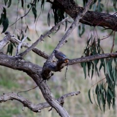 Artamus cyanopterus (Dusky Woodswallow) at Wandiyali-Environa Conservation Area - 12 Oct 2019 by Wandiyali