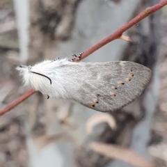 Pinara undescribed species near divisa at Gungaderra Grasslands - 12 Oct 2019 by AaronClausen