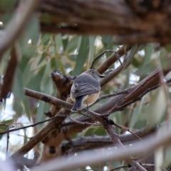 Pachycephala rufiventris (Rufous Whistler) at Jerrabomberra, NSW - 12 Oct 2019 by Wandiyali