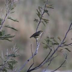 Pardalotus striatus (Striated Pardalote) at Wandiyali-Environa Conservation Area - 12 Oct 2019 by Wandiyali